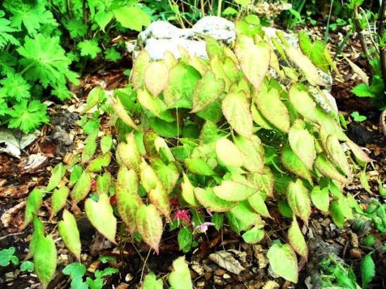 Fleurs des Elfes-Epimedium rubrum