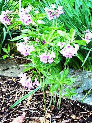Corydale à tubercule creux-Corydalis cava