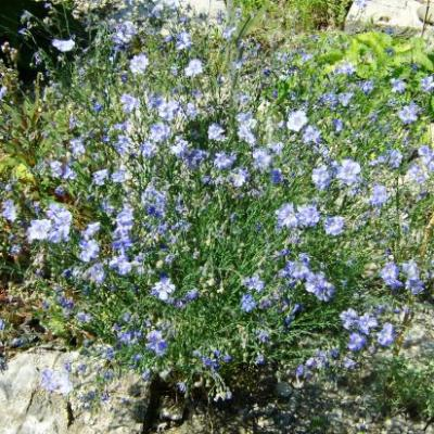 Lin d'Autriche-Linum austriacum