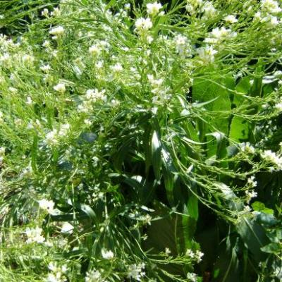 Raifort-Armoracia rusticana