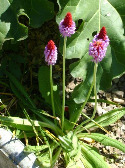 Primevère du Père Vial-Primula vialii
