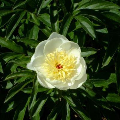 Pivoine blanche-Paeonia alba