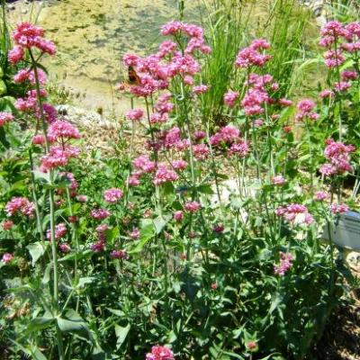 Centranthe/Valériane rouge-Centranthus ruber