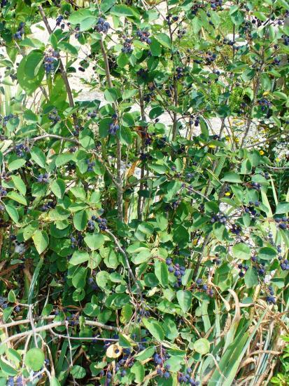 Amélanchier-Amelanchier ovalis
