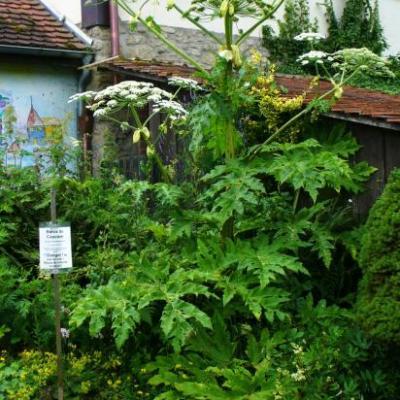 Berce du Caucase-Heracleum mantegazzianum