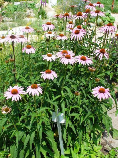 Echinacée-Echinacea purpura