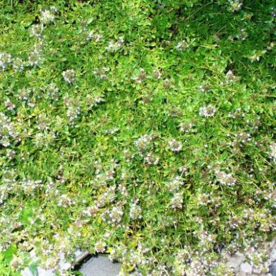 Thym serpolet-Thymus serpyllum