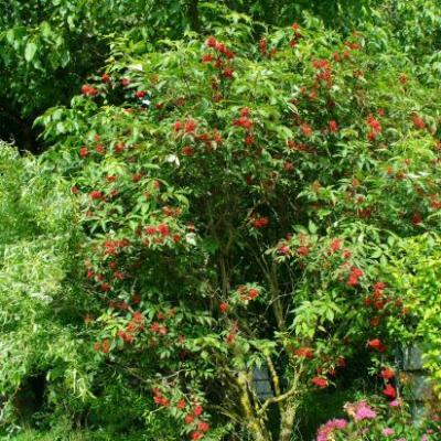 Sureau rouge-Sambucus racemosa