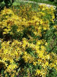 Millepertuis-Hypericum perforliatum