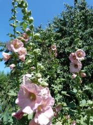 Rose trémiaire