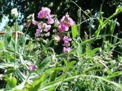 Pois de senteur-Lathyrus odoratus