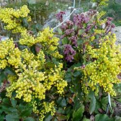 Mahonia, faux houx-Mahonia aquifolium