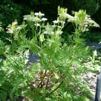 Cerfeuil musqué-Myrrhis odorata