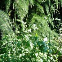 Actée à grappes-Cimifuga racemosa