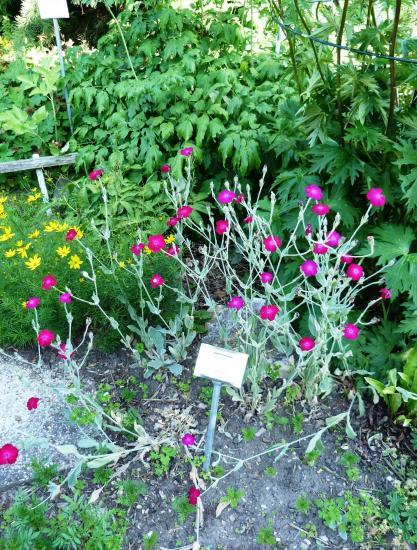 Coquelourde des jardins, Silène coronaire- Silene coronaria