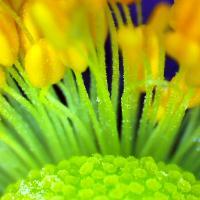 Anemone japonaise anemona japonica 11