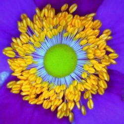 Anemone japonaise anemona japonica 5