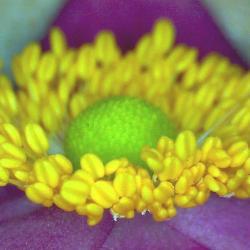 Anemone japonaise anemona japonica 7