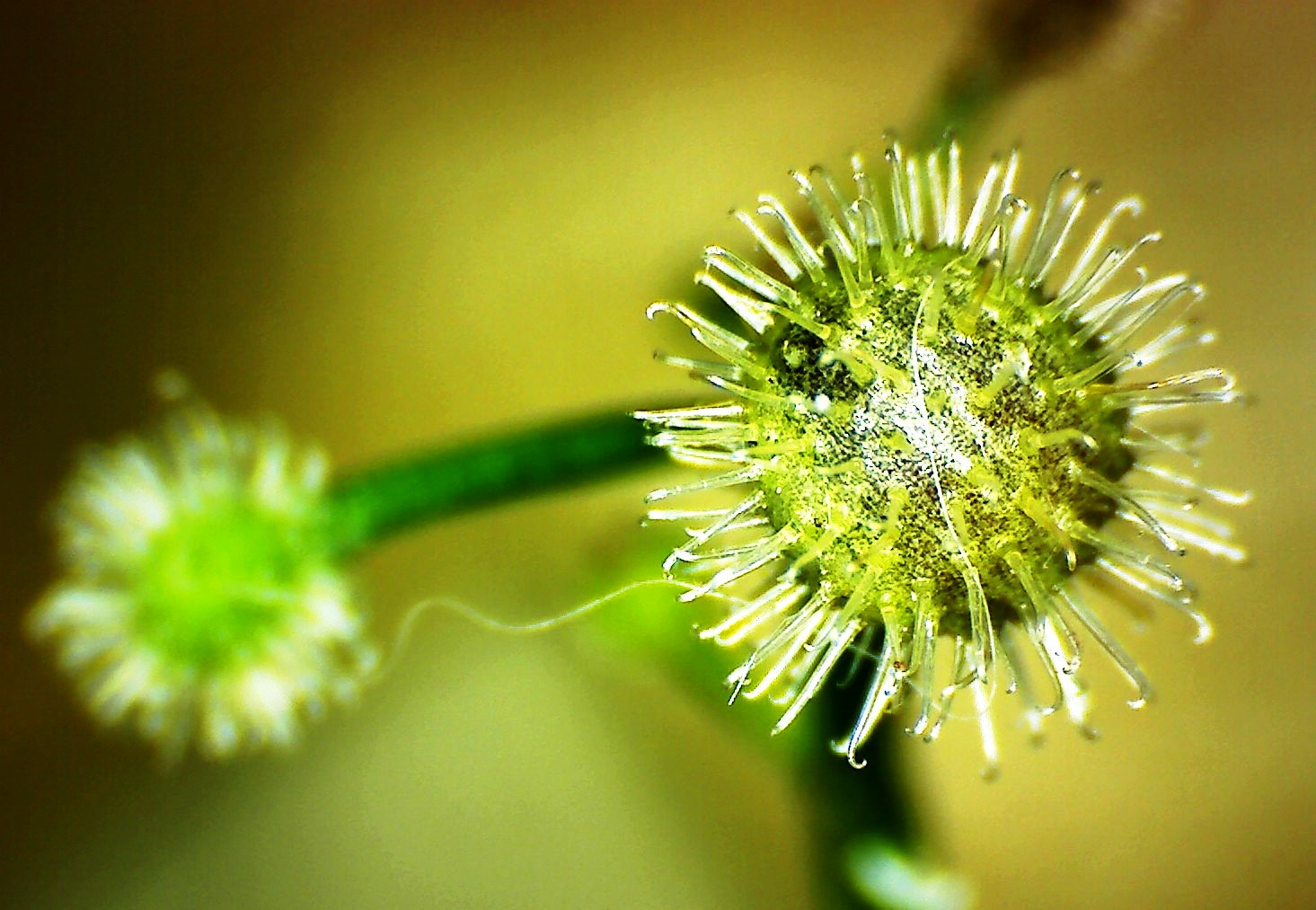 Asperule odorante galium odoratum