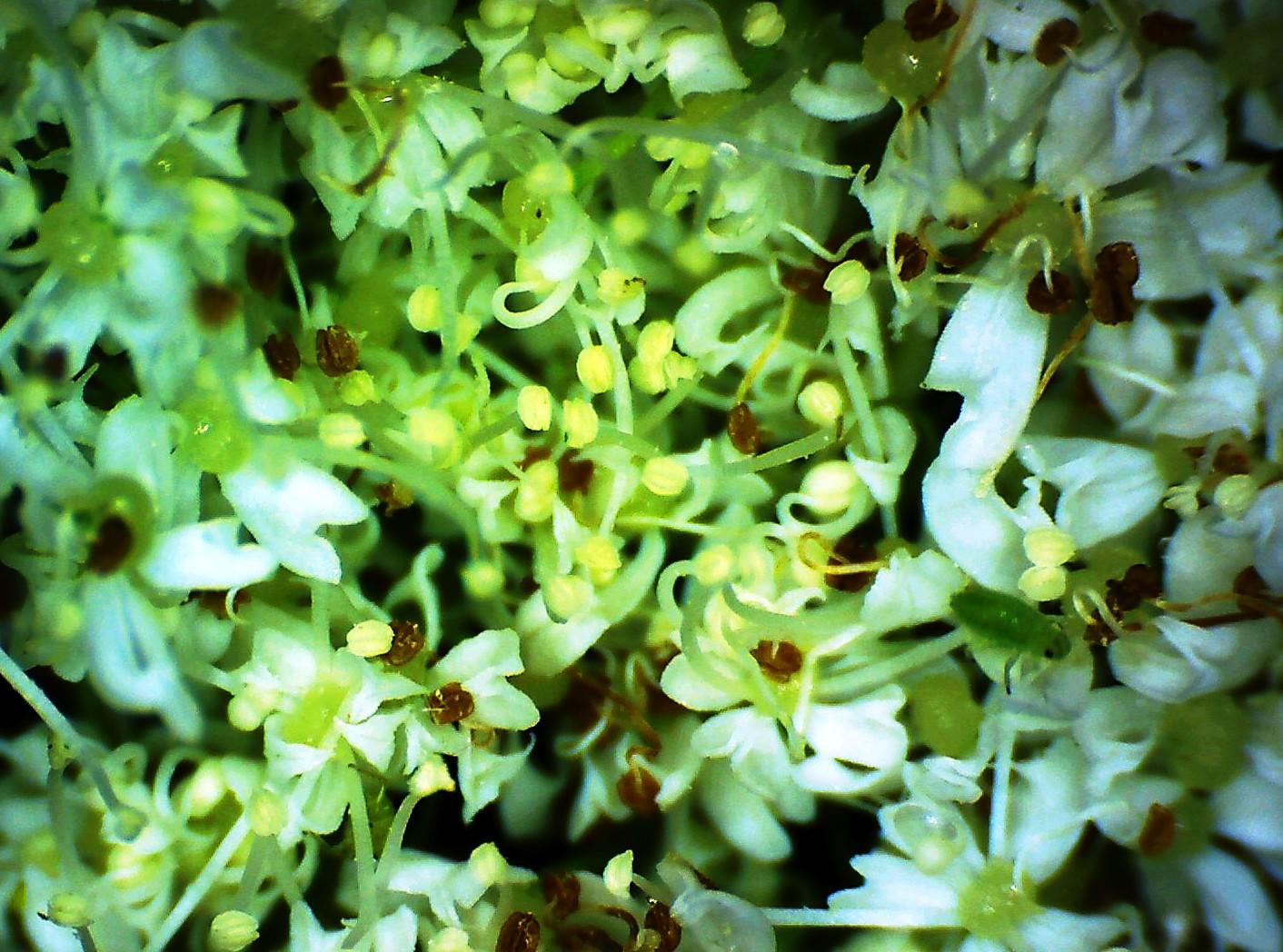Cerfeuil musque myrrhis odorata