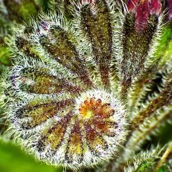 Consoudecaucase symphytum caucasicum 3