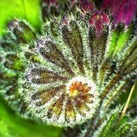 Consoudecaucase symphytum caucasicum 4
