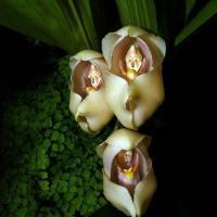 Des bebes dans les langes anguloa uniflora