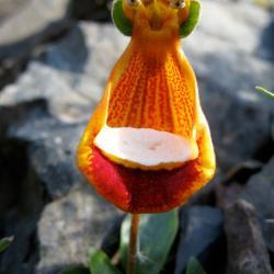 Des extraterrestres heureux calceolaria uniflora