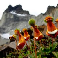 Des extraterrestres heureux calceolaria uniflora 2