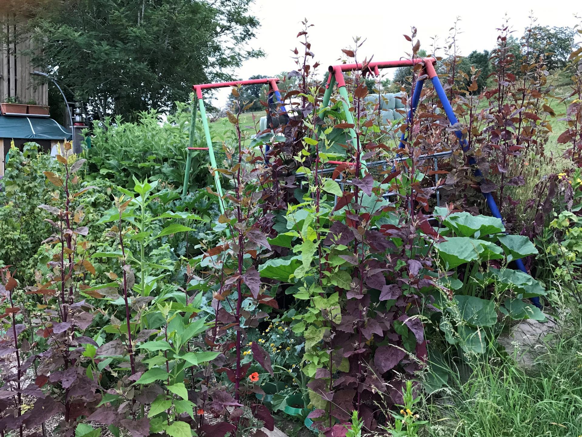 Arroche verte er rouge des jardins