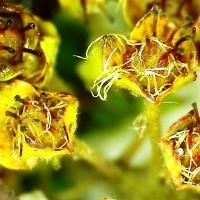 Fructifications nouaison spierea japonica 1