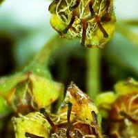 Fructifications nouaison spierea japonica 2