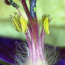 Geranium x 4