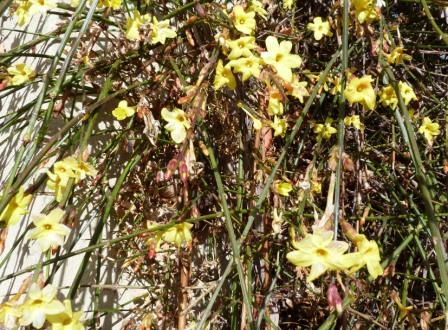 Jasmin d'hiver-Jasminum nudiflorum