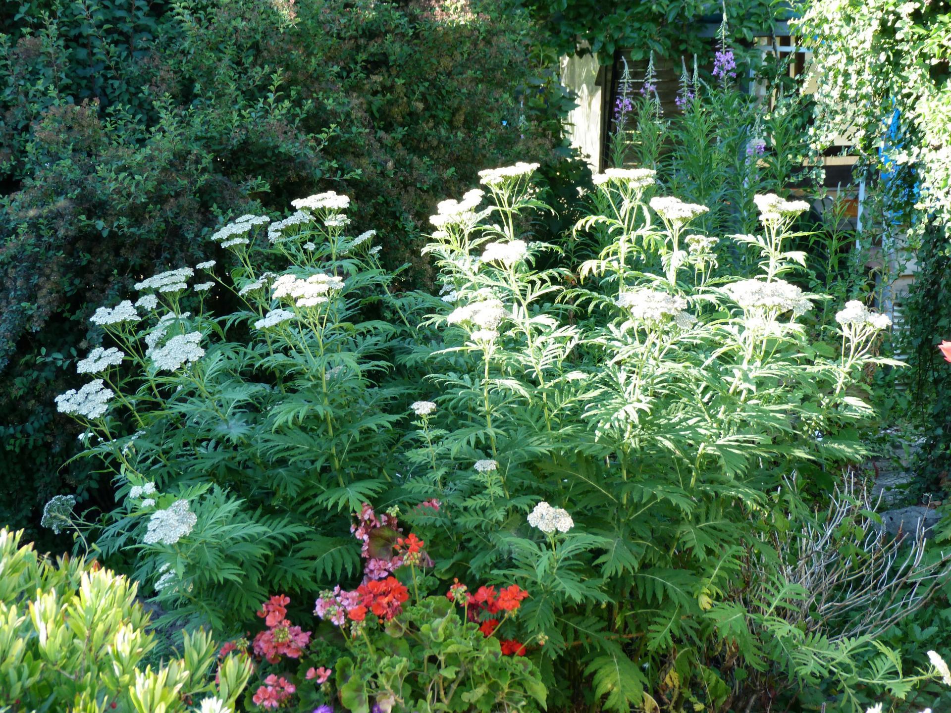 Jardinles especes achilleegrandesfeuilles 3