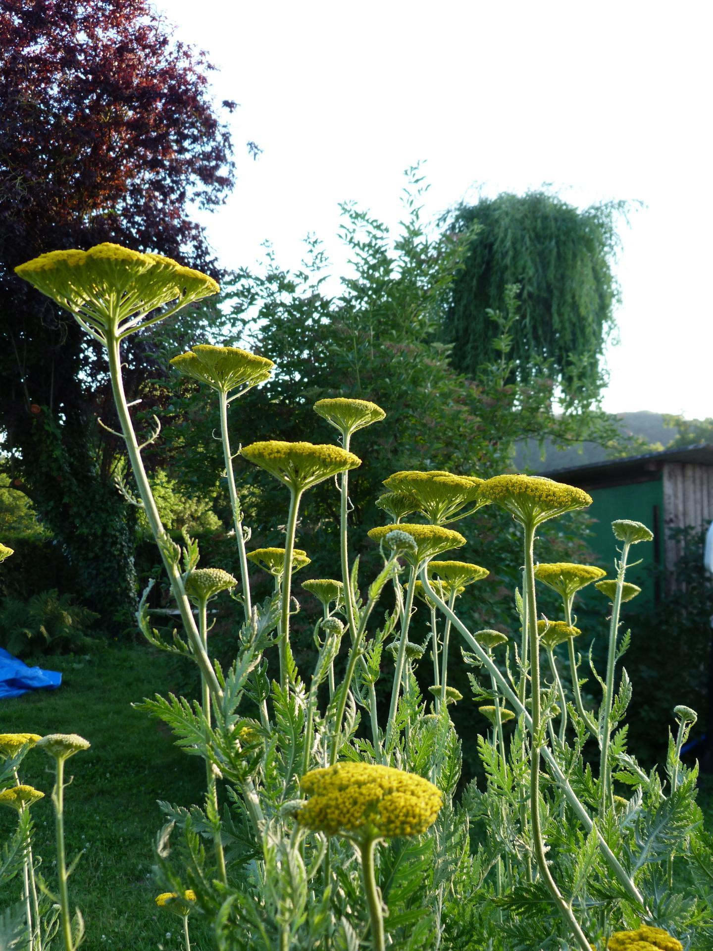 Jardinles especes achilleejaune 9