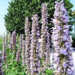Jardinles especes agastachefenouil 6