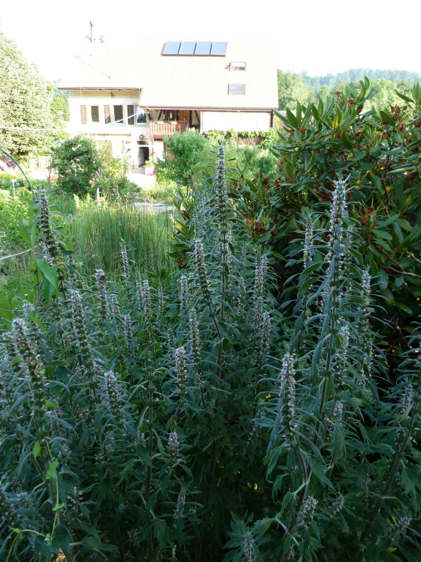 Jardinles especes agripaumescardiaca 25