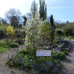Jardinles especes amelanchier ovalis 33