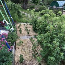 Jardinles especes angeliquearchangelique 31