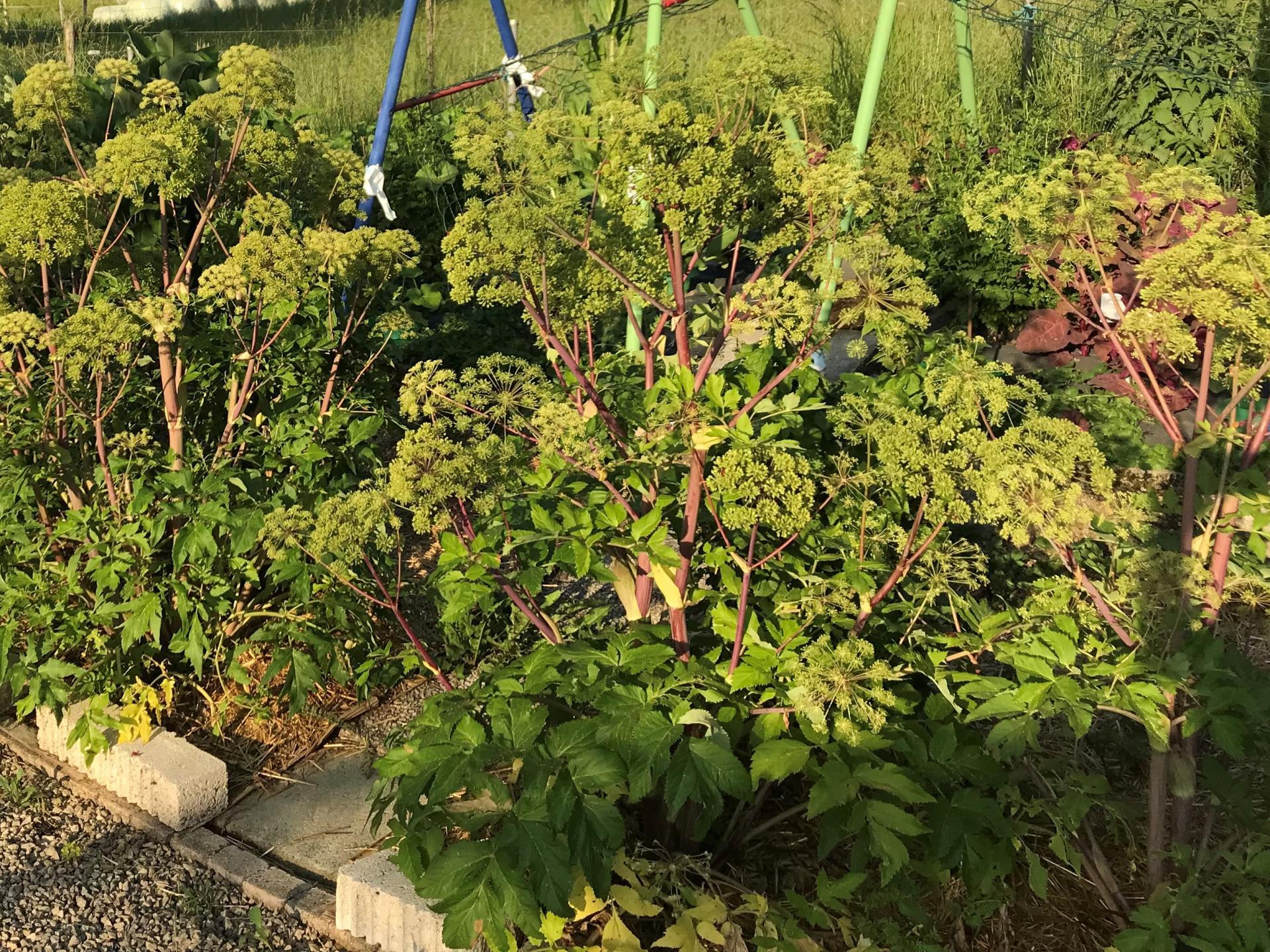 Jardinles especes angeliquearchangelique 32
