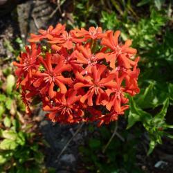 Jardinles especes asclepiadetubereuse 14