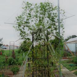 Jardinles especes bryone dioique 39