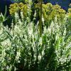 Jardinles especes epiairedesmarais 4