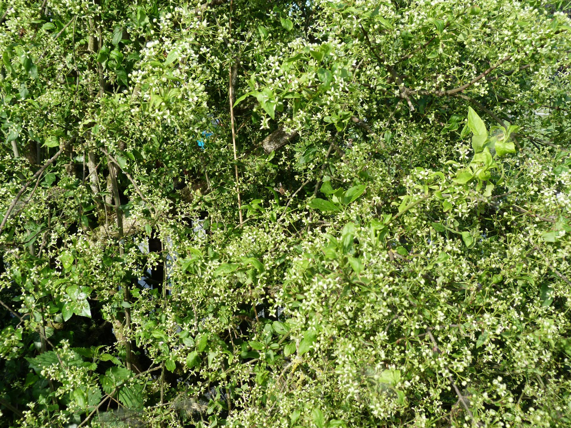 Jardinles especes fusain 34