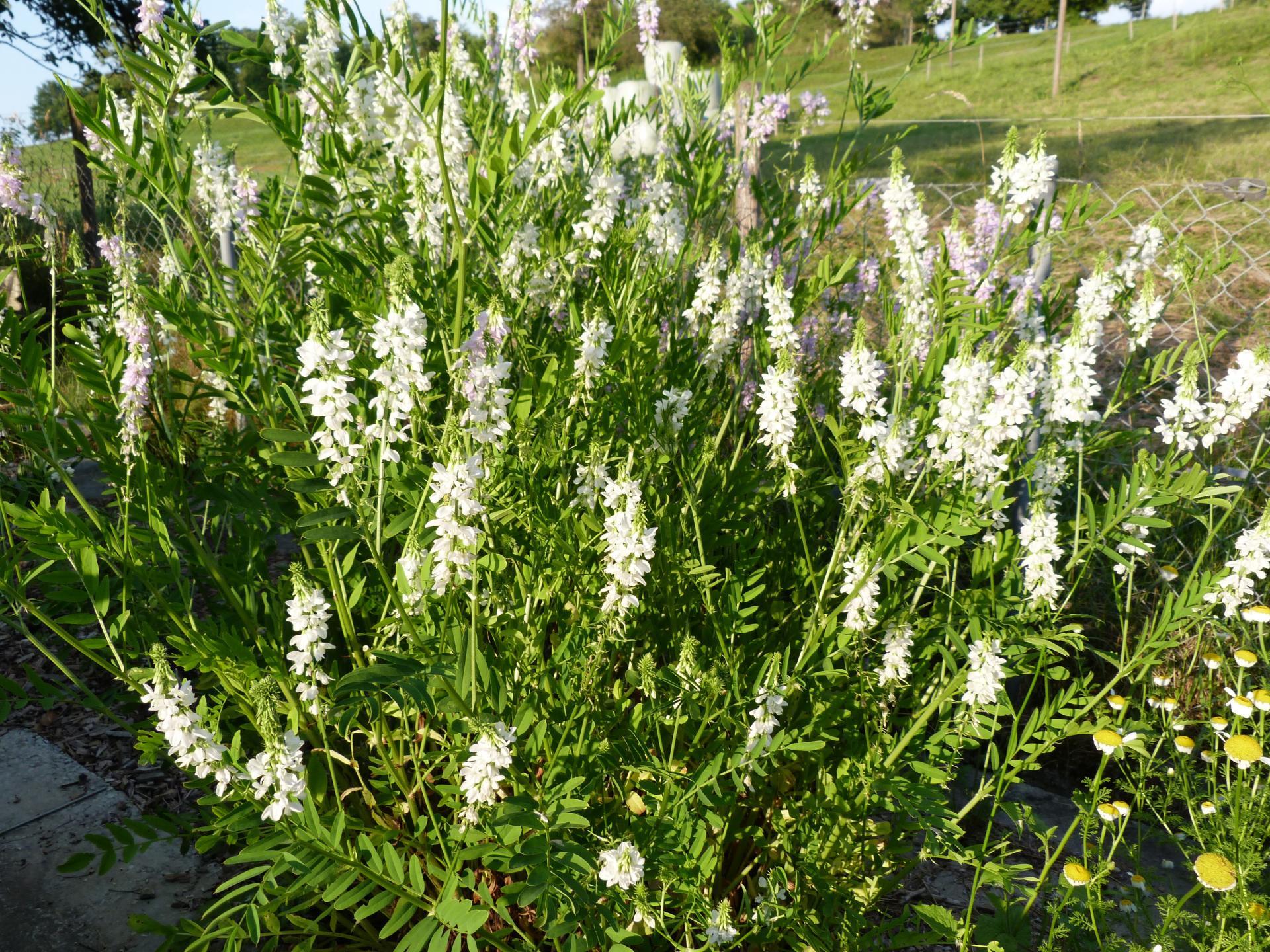 Jardinles especes galega 20