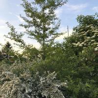 Jardinles especes gingkobiloba 3