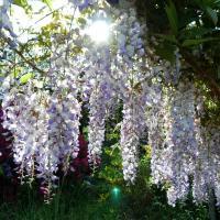 Jardinles especes glycine 35