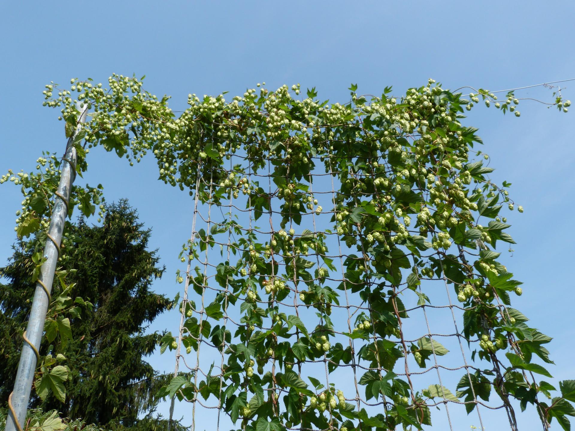 Jardinles especes houblon 30