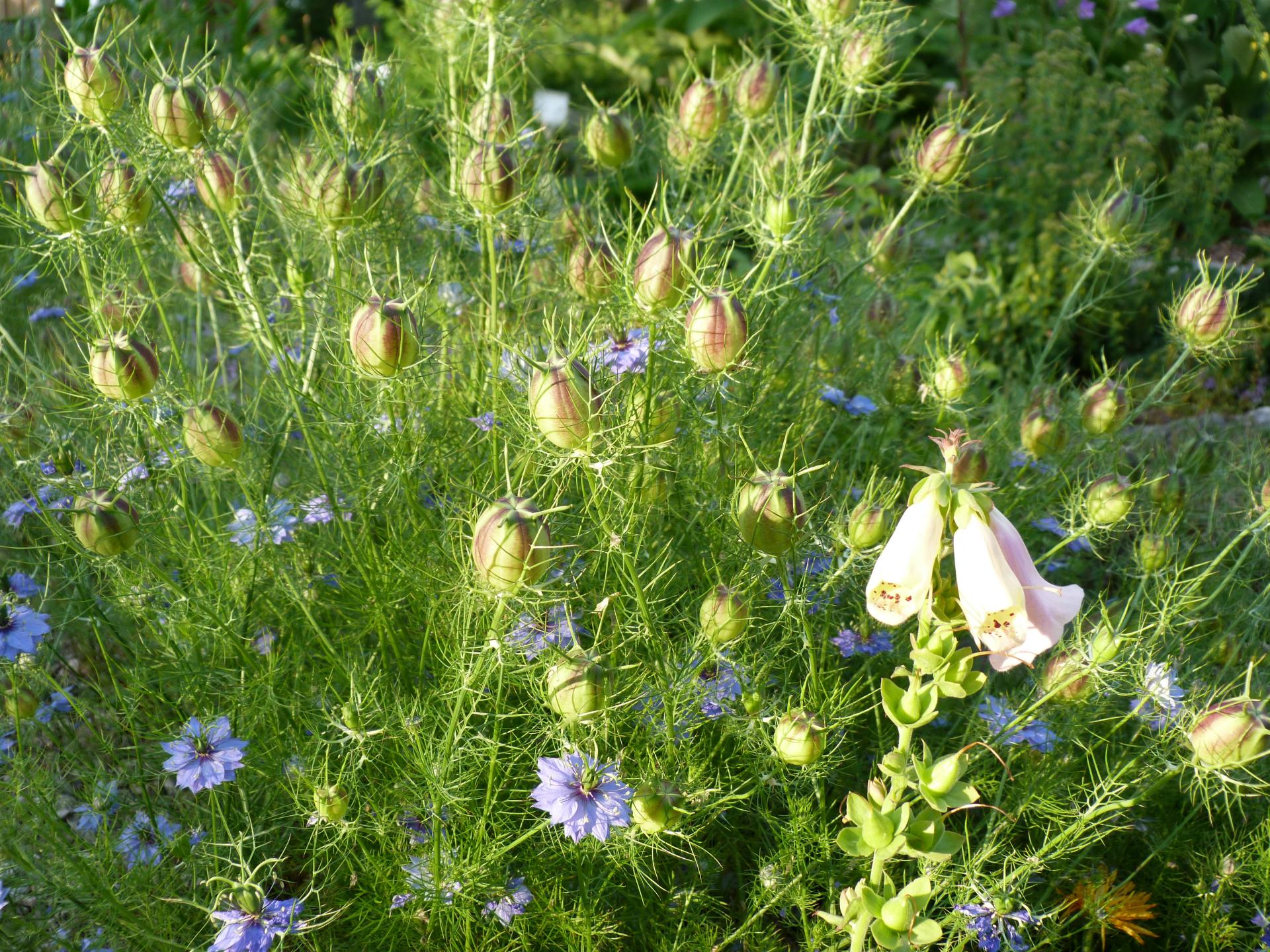 Jardinles especes nigelledamas 21